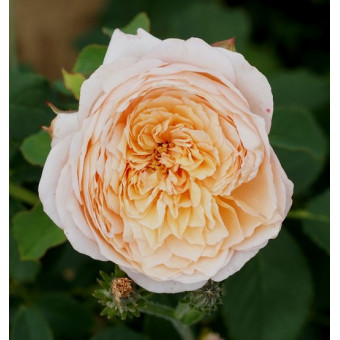 Rose Charles de Nervaux