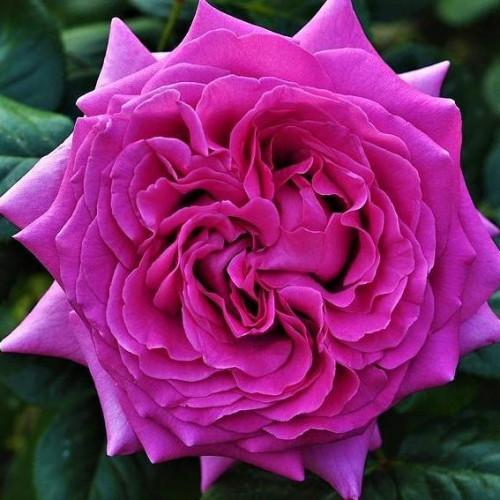 Роза Chartreuse de Parme