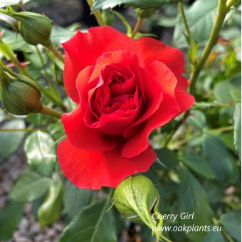 Роза Cherry Girl