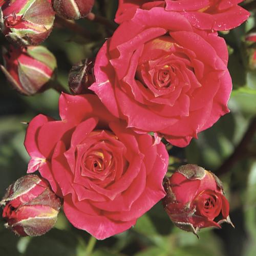 Роза Chili Clementine
