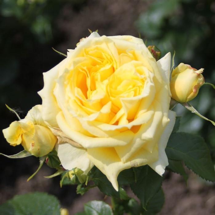 Роза China Girl