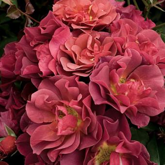 Роза Cinco de Mayo