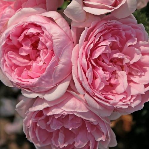Роза Cinderella