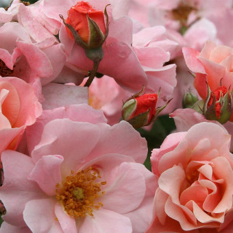 Роза Clair Matin