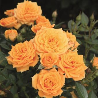 Роза Clementine