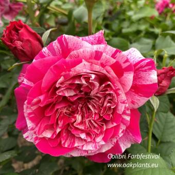 Роза Colibri Farbfestival