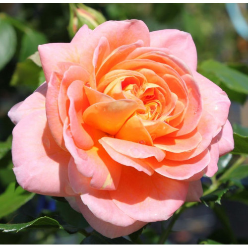 Rose Concerto 94