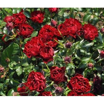 Роза Coral Pixie