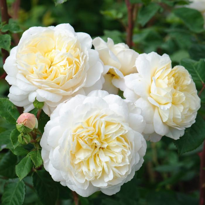 Роза Crocus Rose