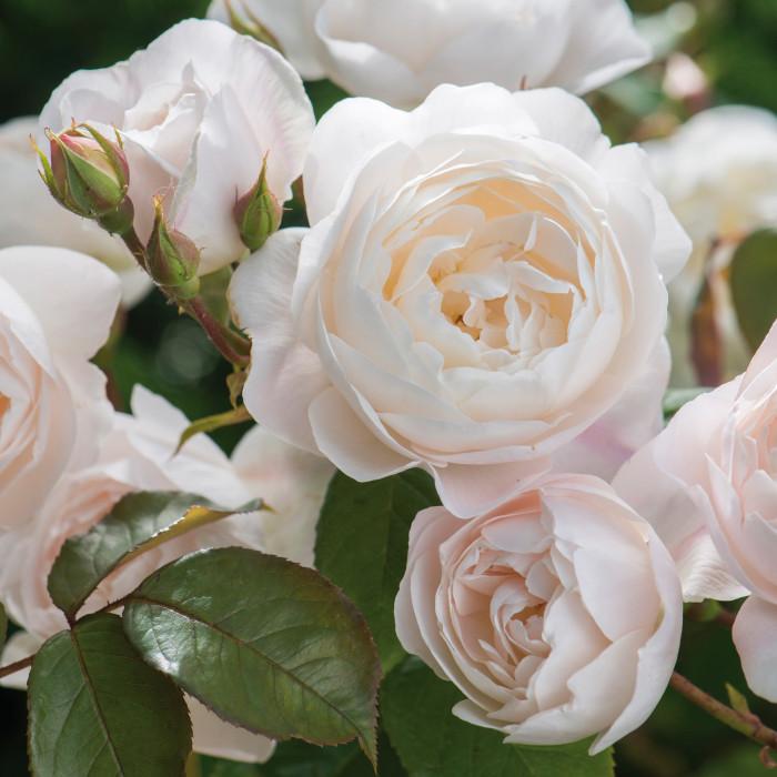 Роза Desdemona