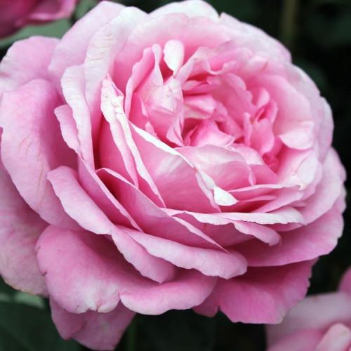 Роза Desiree