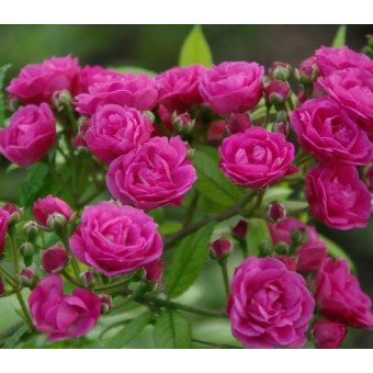 Роза Dinky