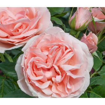 Роза Donatella/Maxima Romantica