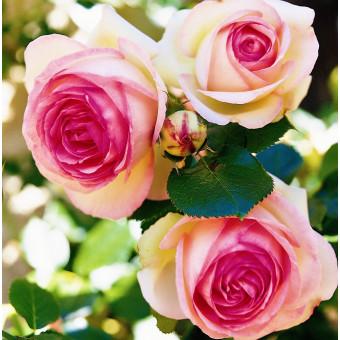 Роза Eden Rose 85