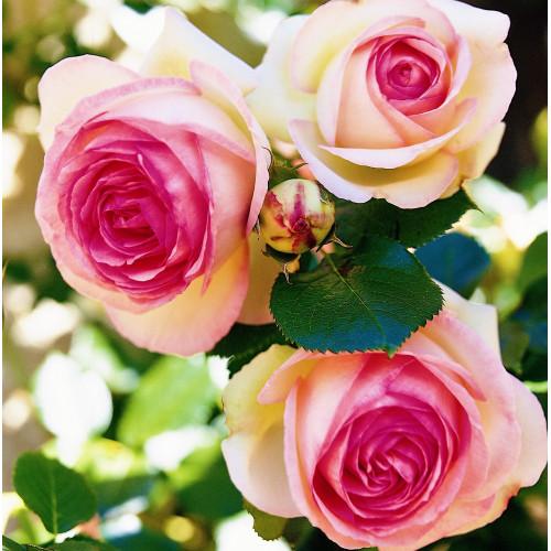 Щамбова Роза Eden Rose 85