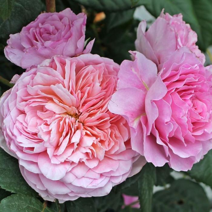 Роза Eisvogel