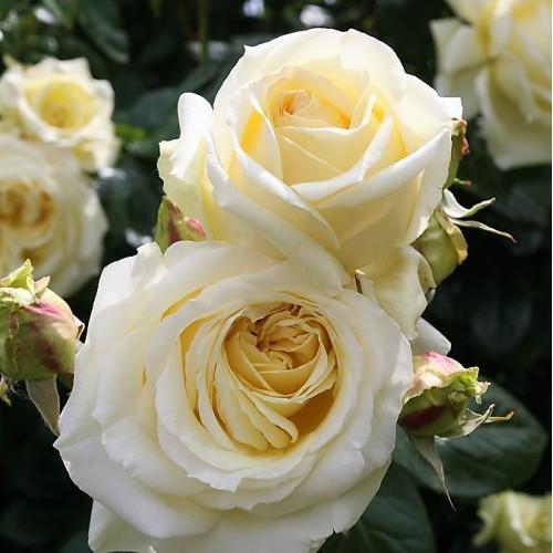 Rose Elfe