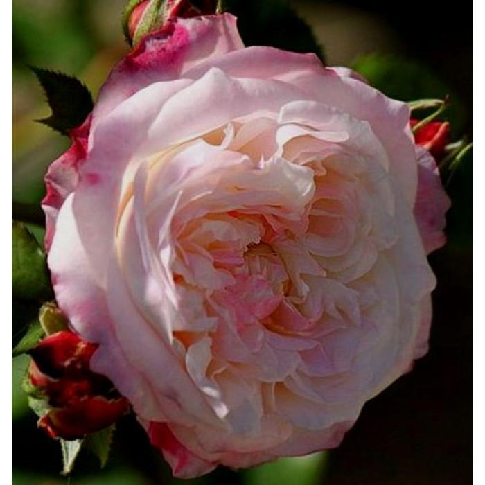 Роза Eliane Gillet