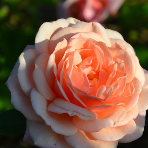Роза Elizabeth Stuart