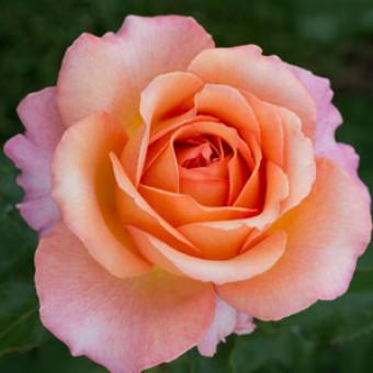 Роза Elle