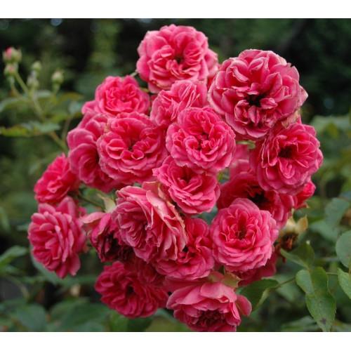 Rose Elmshorn