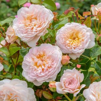 Роза Emily Bronte