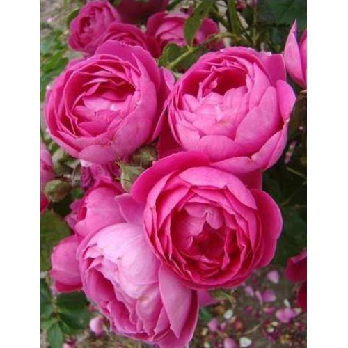 Роза Empereur Charles IV