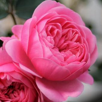 Роза Eva