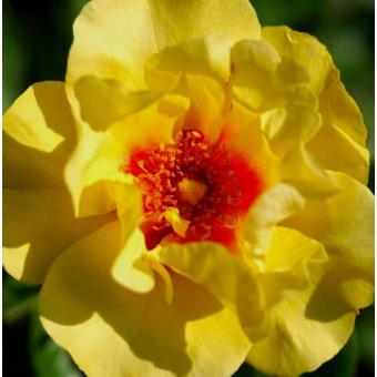 Роза Eyeconic