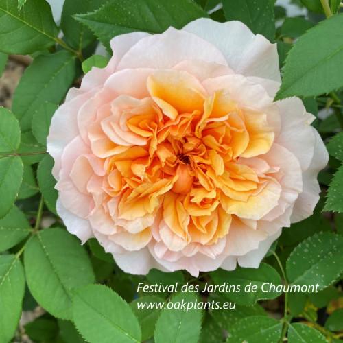 Роза Festival des Jardins de Chaumont
