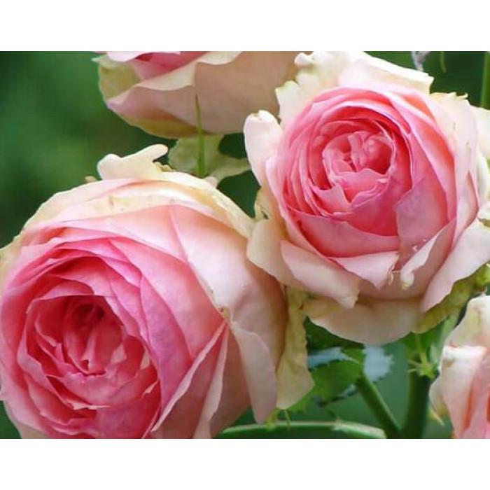 Роза First Lady