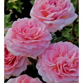 Роза Francis Blaise
