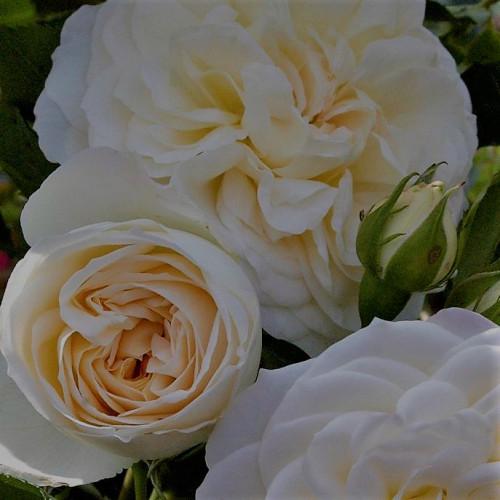Роза Friedenslicht