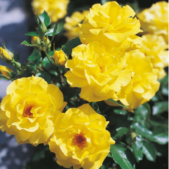 Роза Friesia