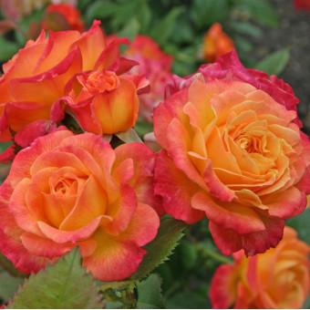 Роза Gartenspass