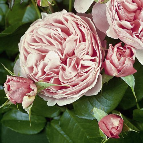 Роза Gartentraume