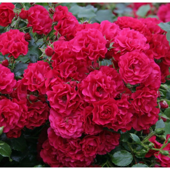 Роза Gartnerfreude