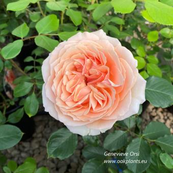 Роза Genevieve Orsi
