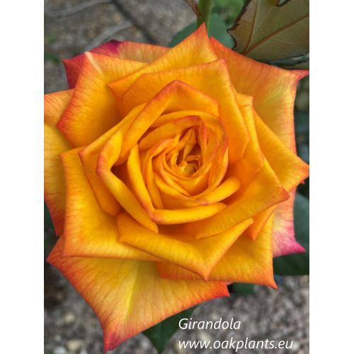 Роза Girandola