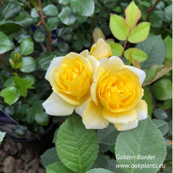 Роза Golden Border