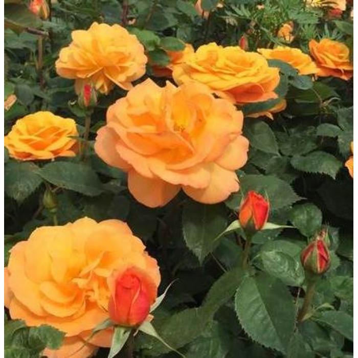Роза Good as Gold