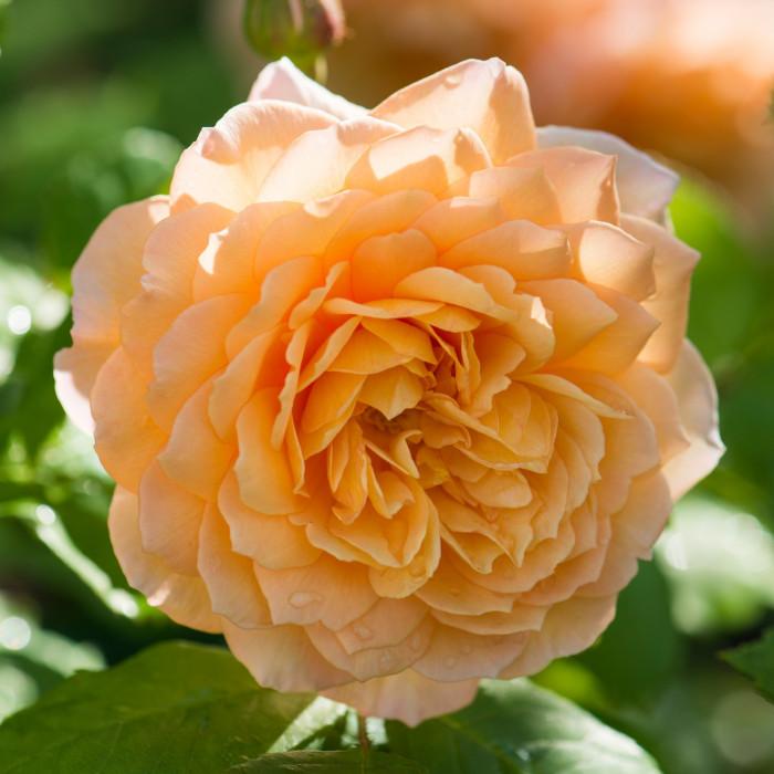 Роза Grace