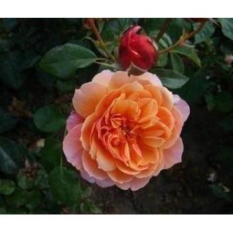 Rose Gret's Joy