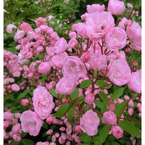 Роза Heavenly Pink