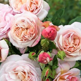 Роза Herkules