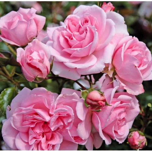 Роза Home & Garden