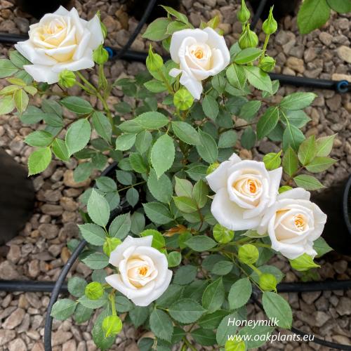 Роза Honeymilk
