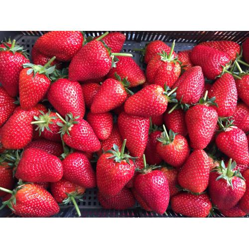 Strawberry Buddy