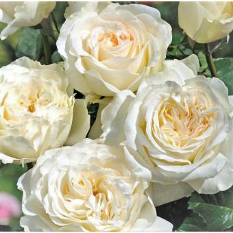 Роза Irina