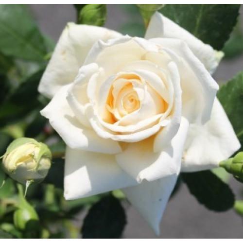 Rose Ilse Krohn Superior